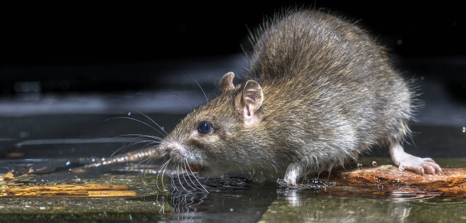 Have Mice Infested Your Home?