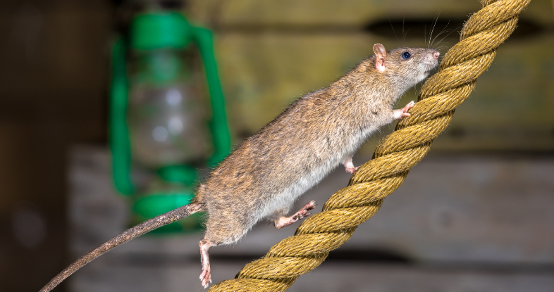 Pest Control Maintenance: How to Best Prevent Medical Issues Caused by Rodents
