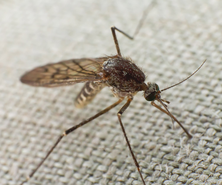 mosquito-on-cloth