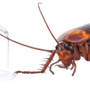 Cockroach Infestation Danger: Do Roaches Carry Disease?