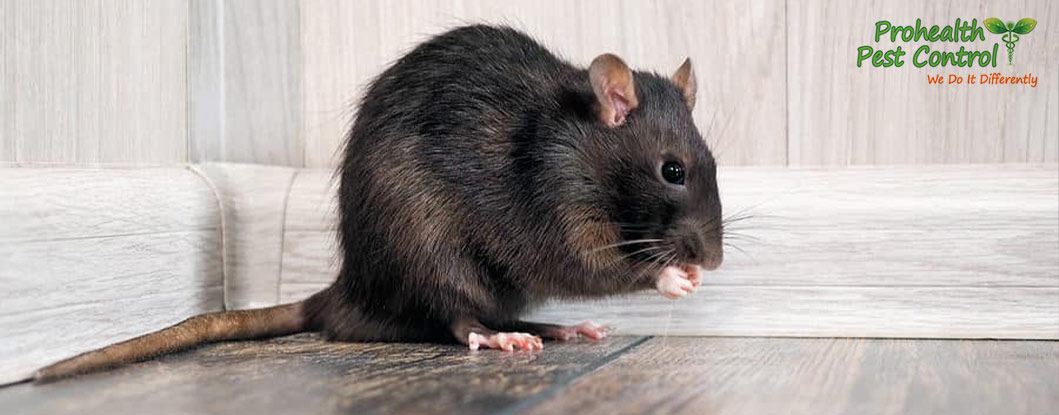 If You Hear Noises in Walls, You May Have a Rodent Infestation