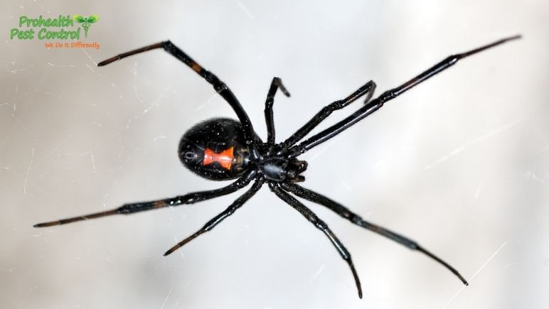 6 Black Widow Spider Facts to Keep in Mind