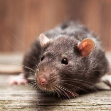 How to Get Rid of Rats in Your Home Fast