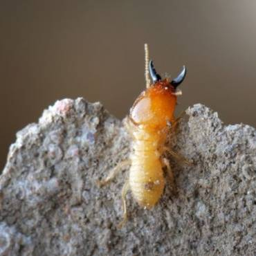Organic Termite Control: How Organic Pest Control Can Eliminate Termites