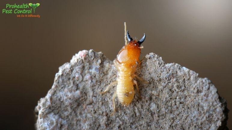 Organic Termite Control: How Organic Pest Control Can Eliminate Termites