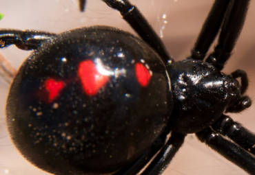 What to do if You Have a Black Widow Infestation