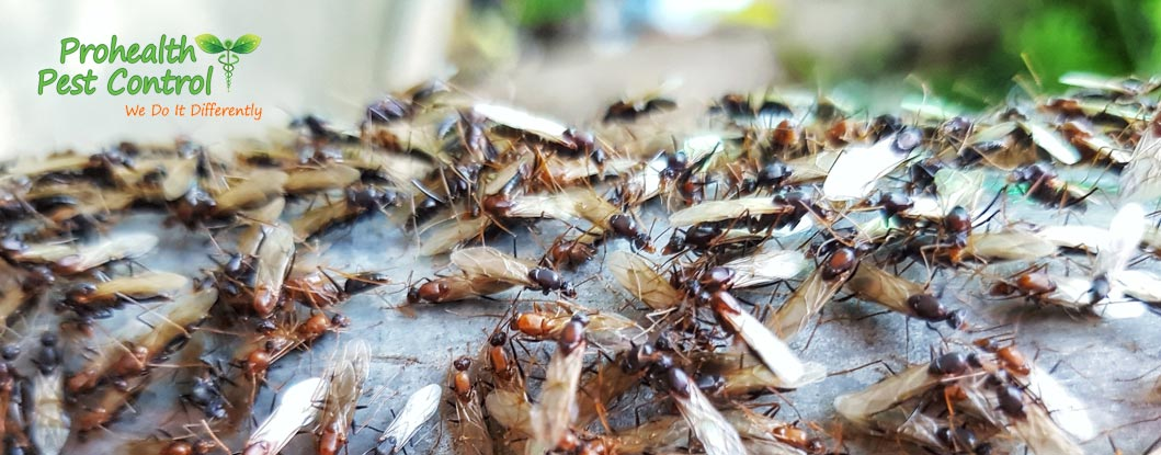 Flying Termite Treatment: How to Deal with Flying Termites