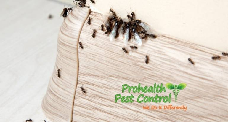 What Kind of Damage can Florida Carpenter Ants Cause?