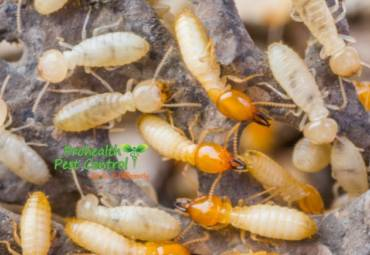 Tentless Termite Treatment: How does it Work?