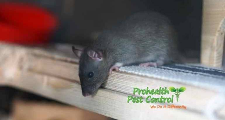 What are Rat Entry Points, and Do You Have any around Your Home?